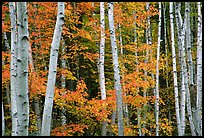 White birches and red maples. Acadia National Park, Maine, USA.