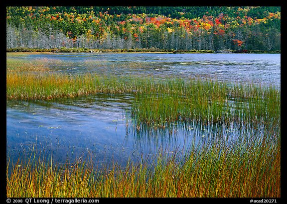 Reeds in pond with trees in fall foliage in the distance. Acadia National Park (color)