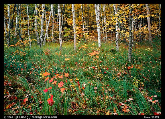 Grasses with fallen leaves and birch forest in autumn. Acadia National Park (color)