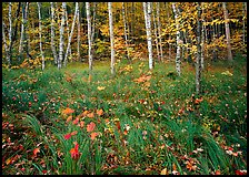 Grasses with fallen leaves and birch forest in autumn. Acadia National Park, Maine, USA.