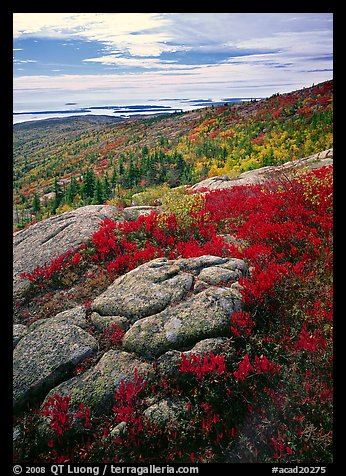 Berry plants in bright fall color, rock slabs, forest on hillside, and coast. Acadia National Park (color)