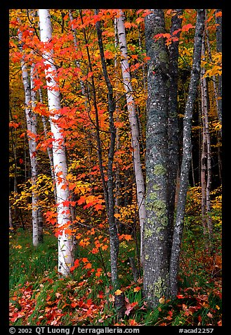 Bouquet of trees in fall colors. Acadia National Park, Maine, USA.