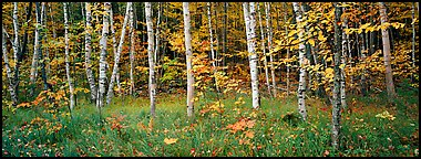 Forest in autumn. Acadia National Park (Panoramic color)