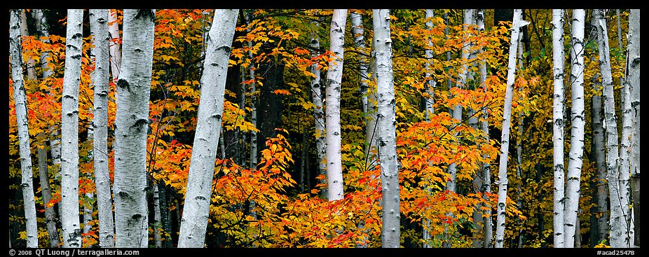 White birch trees and orange-colored maple leaves in autumn. Acadia National Park (color)