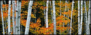 White birch trees and orange-colored maple leaves in autumn. Acadia National Park, Maine, USA.