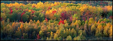 Distant trees in fall foliage. Acadia National Park (Panoramic color)