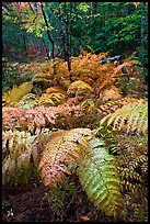 Moving ferns in autumn colors. Acadia National Park, Maine, USA. (color)