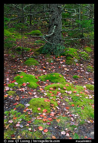 Moss, leaves, and tree. Acadia National Park (color)