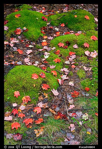 Fallen leaves on green moss. Acadia National Park (color)