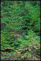 Pine saplings. Acadia National Park, Maine, USA.
