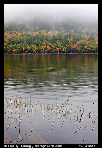 Reeds and hillside in fall foliage on foggy day. Acadia National Park (color)