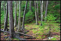 Pine saplings and tree trunks. Acadia National Park ( color)