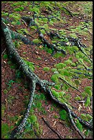 Roots and moss. Acadia National Park, Maine, USA.