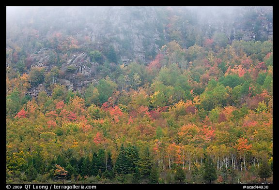 Trees in fall foliage on hillside beneath cliff with fog. Acadia National Park, Maine, USA.