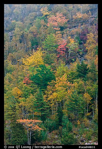 Trees in autumn colors on hillside. Acadia National Park, Maine, USA.