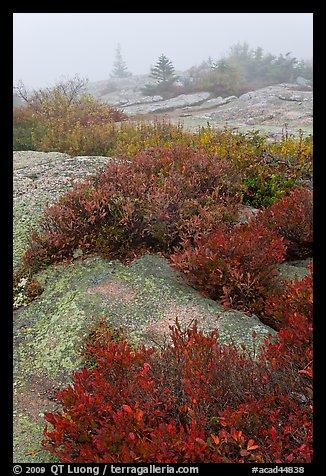 Lichen-covered rocks and red berry plants in fog, Cadillac Mountain. Acadia National Park (color)