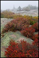 Lichen-covered rocks and red berry plants in fog, Cadillac Mountain. Acadia National Park, Maine, USA. (color)
