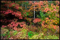 Multicolored leaves in autumn. Acadia National Park ( color)