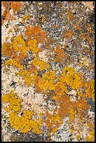 Lichens close-up, Schoodic Peninsula. Acadia National Park, Maine, USA.