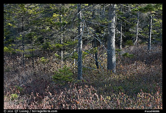 Forest and berry plants in winter, Isle Au Haut. Acadia National Park (color)