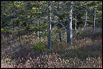 Forest and berry plants in winter, Isle Au Haut. Acadia National Park, Maine, USA. (color)