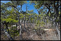 Pine forest, Isle Au Haut. Acadia National Park, Maine, USA.
