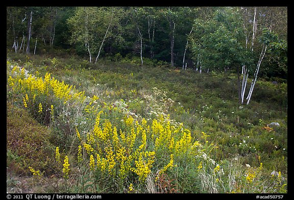 Summer meadow with wildflowers at forest edge. Acadia National Park (color)