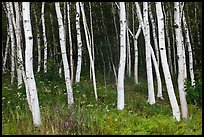 Birch tree trunks in summer. Acadia National Park, Maine, USA.