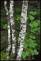 Maple leaves and birch trunks in summer. Acadia National Park, Maine, USA.