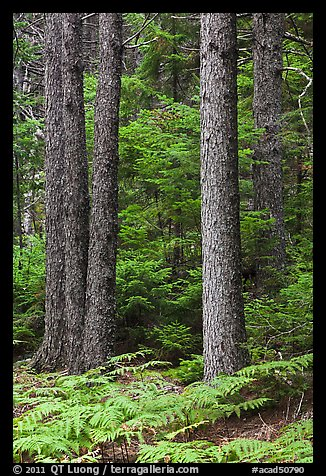 Pines and ferns. Acadia National Park (color)