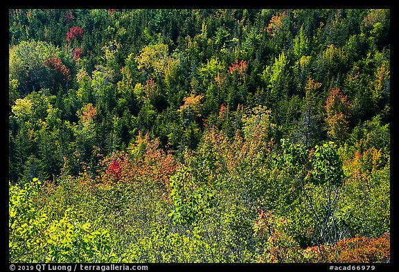 Shrubs and trees on hillside, early fall. Acadia National Park (color)