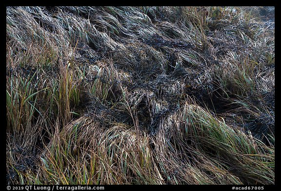 Close-up of grasses. Acadia National Park (color)