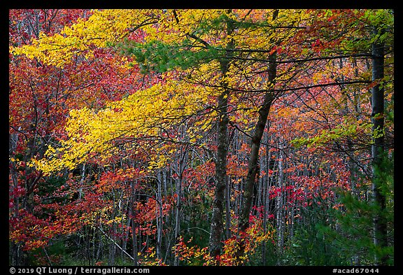 Hardwood trees in autumn foliage. Acadia National Park (color)