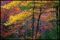 Hardwood trees in autumn foliage. Acadia National Park ( color)
