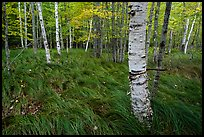Grasses and birch trees, Sieur de Monts. Acadia National Park ( color)