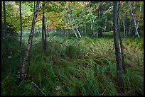 Grasses and trees, Jesup Path. Acadia National Park ( color)