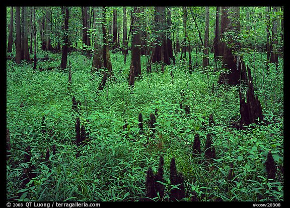 Dry swamp with cypress knees in summer. Congaree National Park (color)