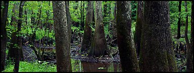 Green swamp forest in summer. Congaree National Park (Panoramic color)