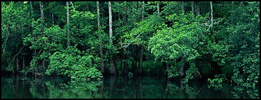 Summer green forest reflected in pond. Congaree National Park (Panoramic color)
