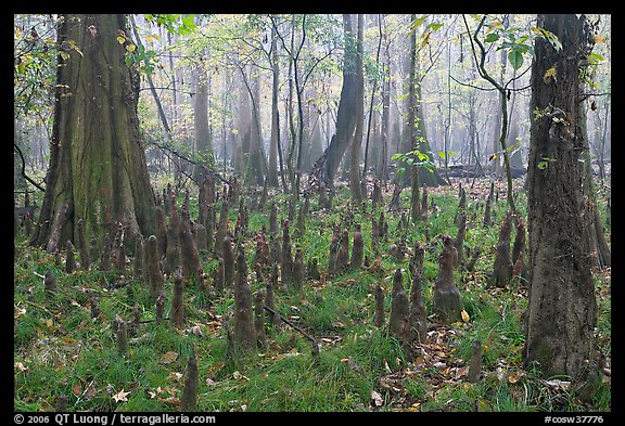 Cypress knees in misty forest. Congaree National Park (color)