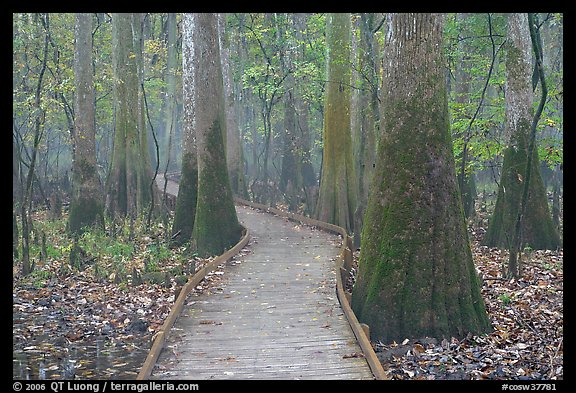 Boardwalk snaking between giant cypress trees in misty weather. Congaree National Park (color)
