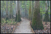 Boardwalk snaking between giant cypress trees in misty weather. Congaree National Park, South Carolina, USA.