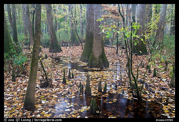 Cypress and knees in slough with fallen leaves. Congaree National Park (color)