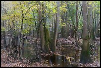 Flooded forest with fall color. Congaree National Park, South Carolina, USA.