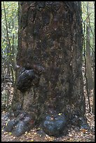 Base of giant loblolly pine tree. Congaree National Park, South Carolina, USA.