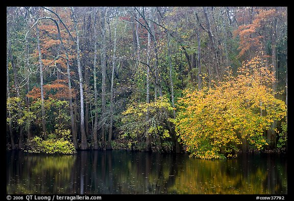 Cypress trees and autumn colors, Weston Lake. Congaree National Park (color)