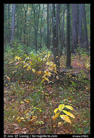 Fall colors on undergrowth in pine forest. Congaree National Park (color)