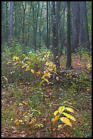 Fall colors on undergrowth in pine forest. Congaree National Park, South Carolina, USA.