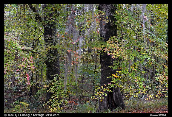 Trees with fall colors and spanish moss. Congaree National Park (color)