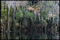 Spanish moss hanging from cypress at the edge of Cedar Creek. Congaree National Park, South Carolina, USA.